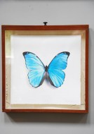 Set of 6 butterfly prints in collectors drawers - Sold